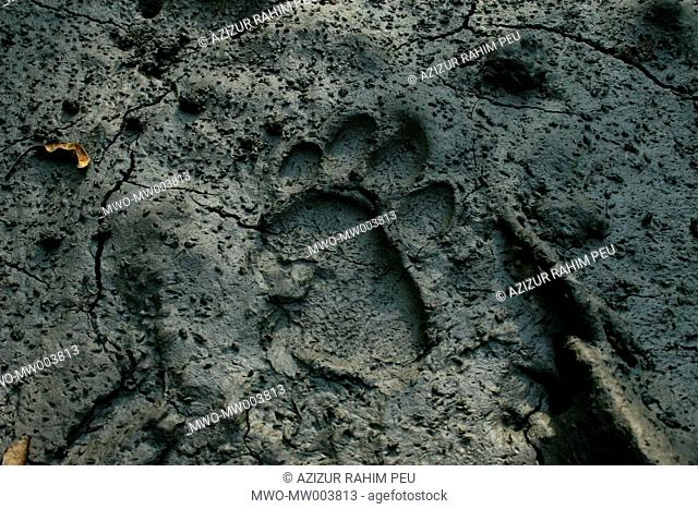 A footprint of Royal Bengal Tiger in the west zone of Sundarbans, the world's largest mangrove forest Environmentalists say there are only 300 tigers left in...