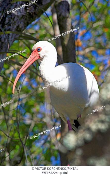 White ibis in Big Cypress Swamp Natural Preserve in Florida