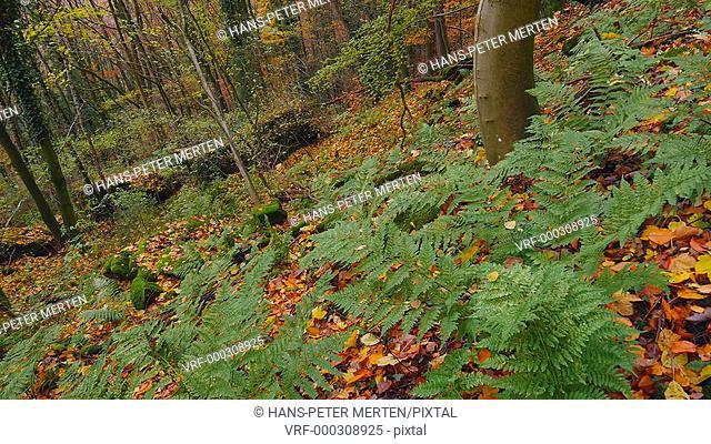 Forest in autumn at Kasteler Felsenpfad rocky trail, Kastel-Staadt, Germany