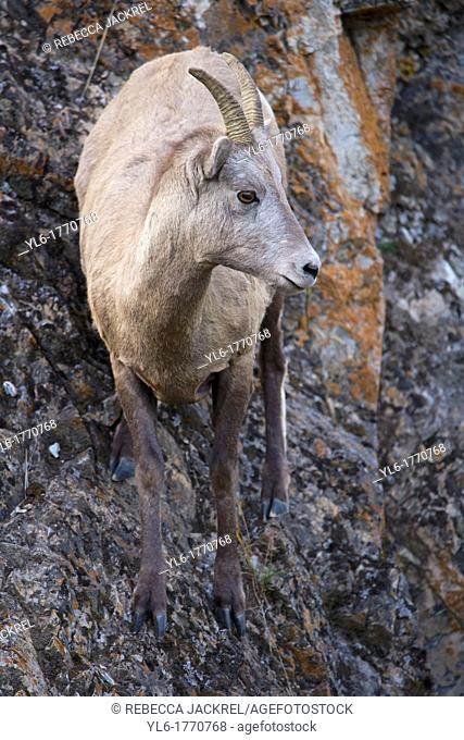 A rocky mountain bighorn sheep Ovis canadensis canadensis stands on a cliff edge in Jasper National Park, Alberta, Canada