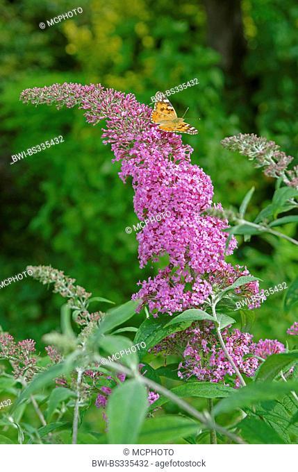 orange eye butterfly bush, violet butterfly bush (Buddleja davidii 'Pink Delight', Buddleja davidii Pink Delight), cultivar Pink Delight, with Painted Lady