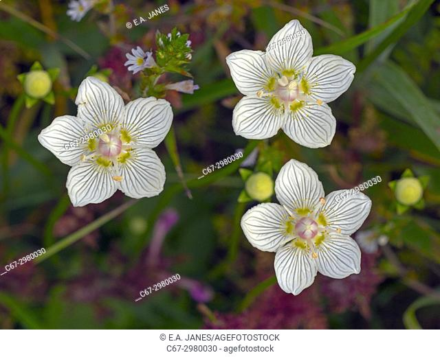 Grass-of-parnassus Parnassus palustris growing in Norfolk wetland reserve