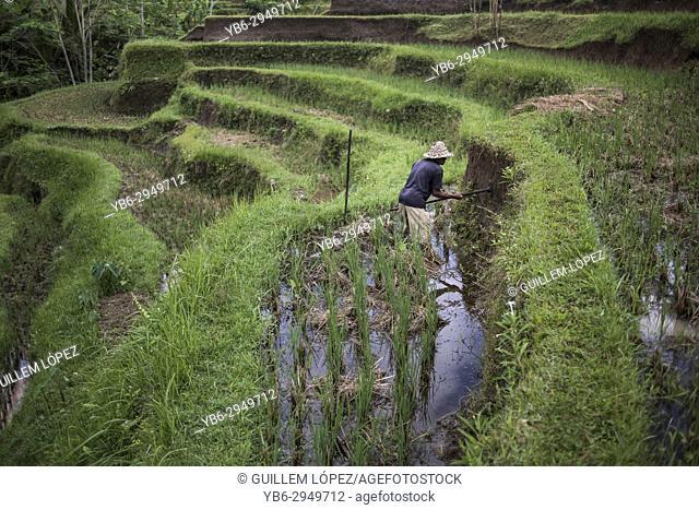 A farmer working in the rice field terraces in Ubud, Bali, Indonesia