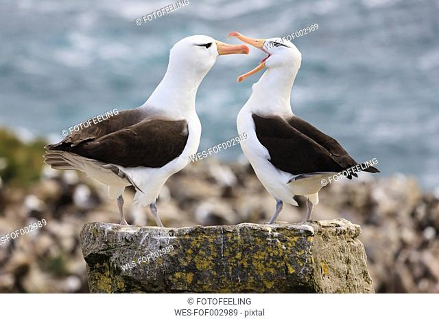 South Atlantic Ocean, British Overseas Territories, Falklands, Falkland Islands, West Falkland, West Point Island, Wandering albatross, close up