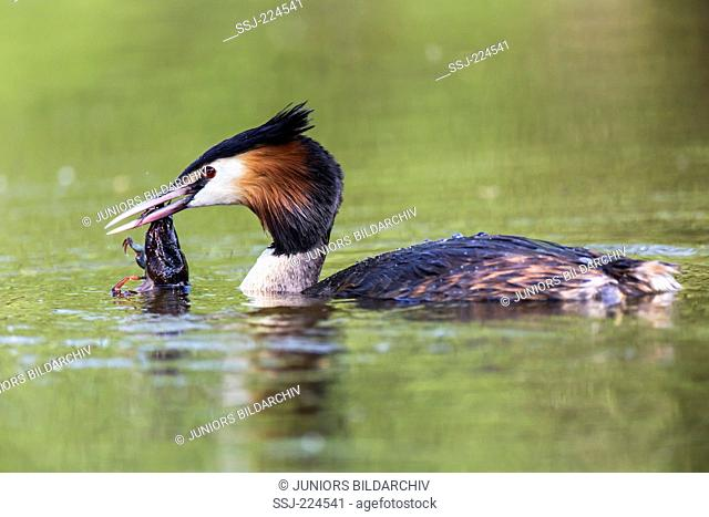 Great Crested Grebe (Podiceps cristatus). Adult on water with Noble Crayfish (Astacus astacus). in its bill. Germany