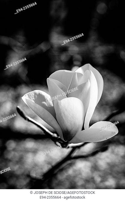 A close up of a Magnolia Gresham hybird 'Heaven Scent' flower in full bloom, black & white photo