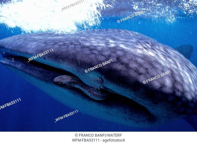 Whale Shark, Rhincodon typus, Ningalo Reef, Indian Ocean, Australia