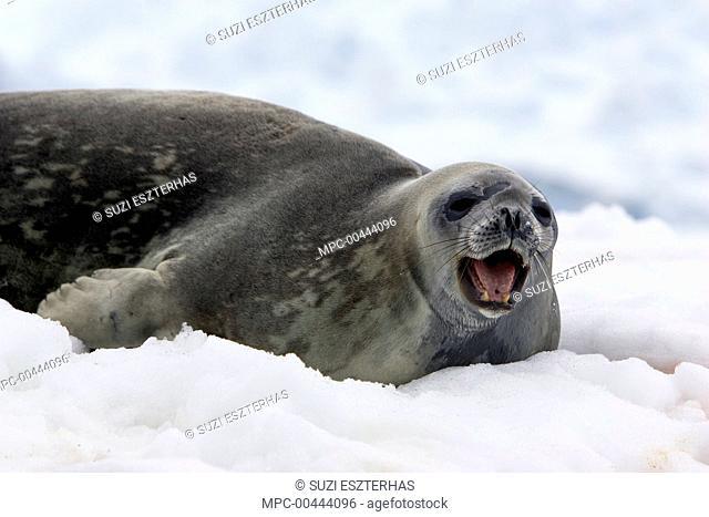 Weddell Seal (Leptonychotes weddellii) calling on iceberg, Petermann Island, Antarctic Peninsula, Antarctica