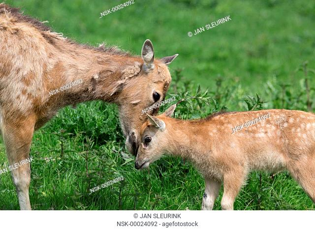 Pere David's Deer (Elaphurus davidianus) mother and calf interacting, The Netherlands, Flevoland, Nature Park Lelystad