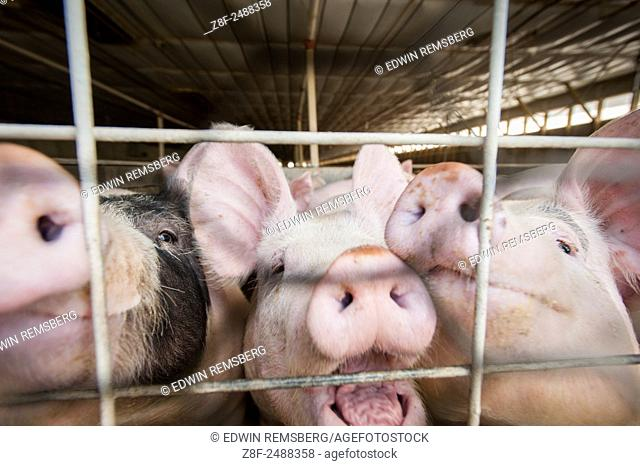 Close-up of hogs behind a fence in Elizabethtown, Pennsylvania, USA