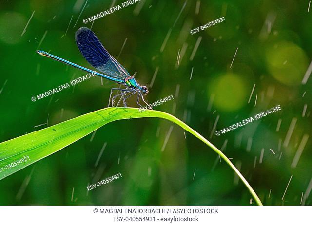 dragonfly in forest (coleopteres splendens) in rain