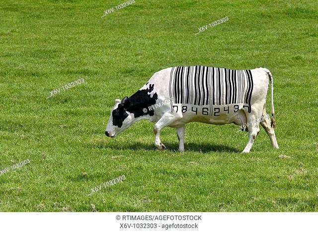 Concept image of a dairy cow with a barcode for markings