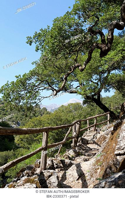 Hiking trail with a railing made of wood, Holm oak (Quercus ilex), Rouwas Gorge, Ida Mountains, near Ano Zaros, Crete, Greece, Europe