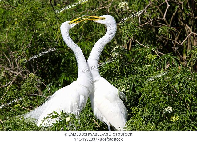 A pair of Great Egret or American Egret at Gatorland in Orlando Florida