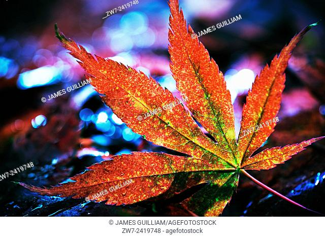 Fallen Acer palmatum leaf