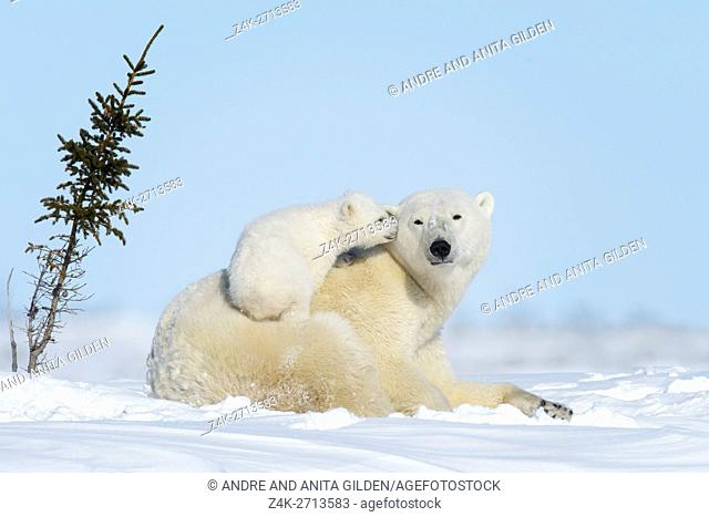 Polar bear mother (Ursus maritimus) with new born cub lying down on tundra, looking at camera, Wapusk National Park, Manitoba, Canada