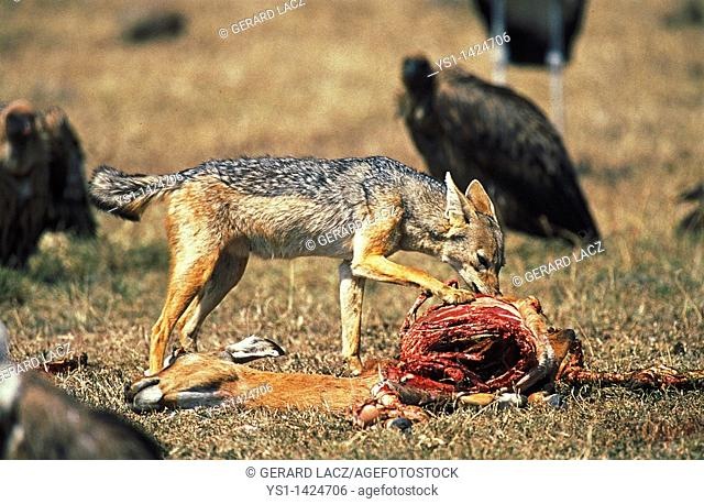 BLACK-BACKED JACKAL canis mesomelas WITH DEAD IMPALA, MASAI MARA PARK IN KENYA