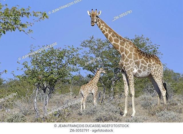 Namibian giraffes or Angolan giraffes (Giraffa camelopardalis angolensis), mother with animal baby, Etosha National Park, Namibia, Africa