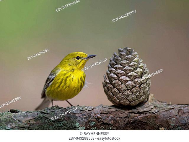 A bright yellow Pine Warbler perches next to a pine cone in the soft morning sunlight with a smooth brown and green background