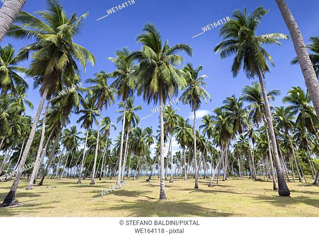 Palm trees near long beach, an eighteen kilometre stretch of white sand, San Vicente, Palawan island, Philippines