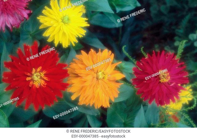 Anemone flowers (Anemone sp.)