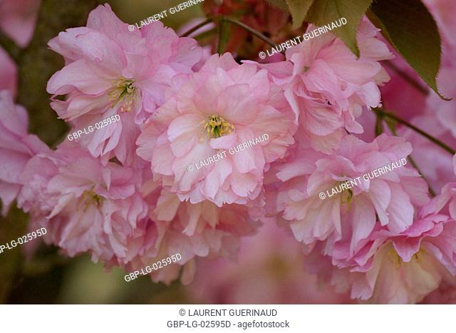 Cherry tree of Japan, Prunus serrulata, Boissy sous Saint Yon, Essonne, Ile de France, France