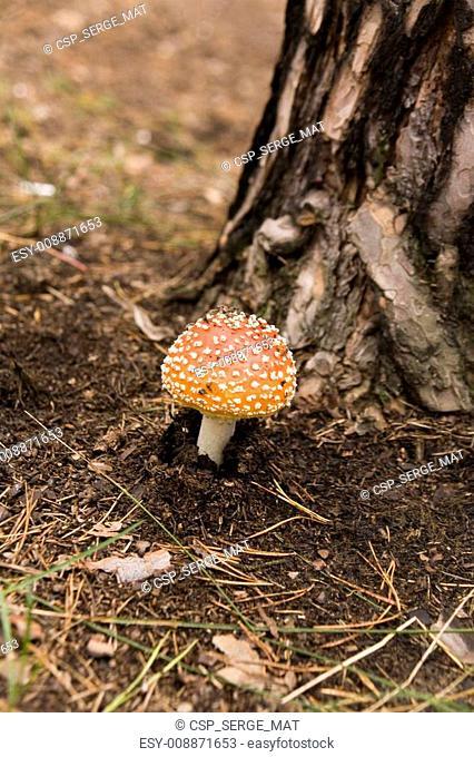 Amanita muscaria and pine