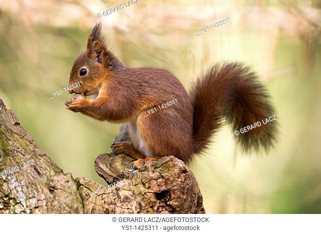 RED SQUIRREL sciurus vulgaris, ADULT EATING HAZELNUT, NORMANDY IN FRANCE