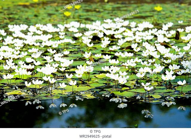 White water snowflake (Nymphoides hydrophylla), aquatic plant, Taiwan, East Asia