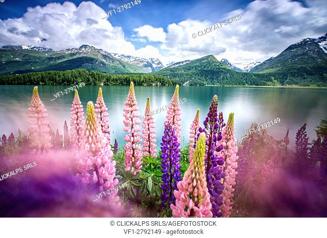 Lupins in bloom on the shores of the Lake of Sils shaken by a strong wind