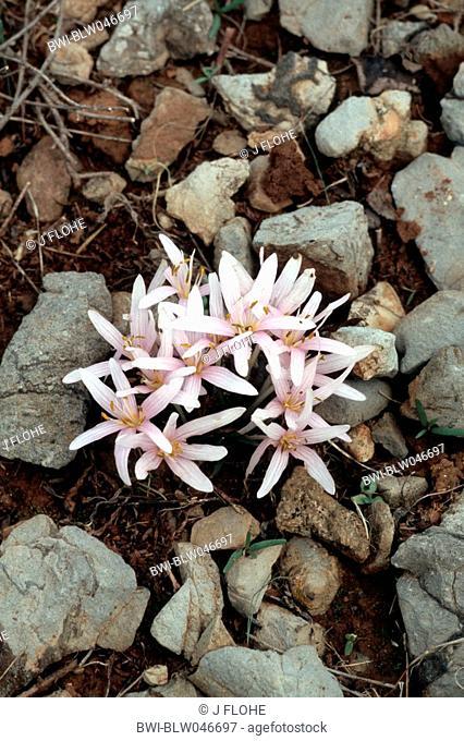 meadow saffron Colchicum pusillum, blooming plants, Greece, Creta