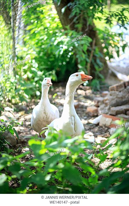 Two curious geese coming towards the camera