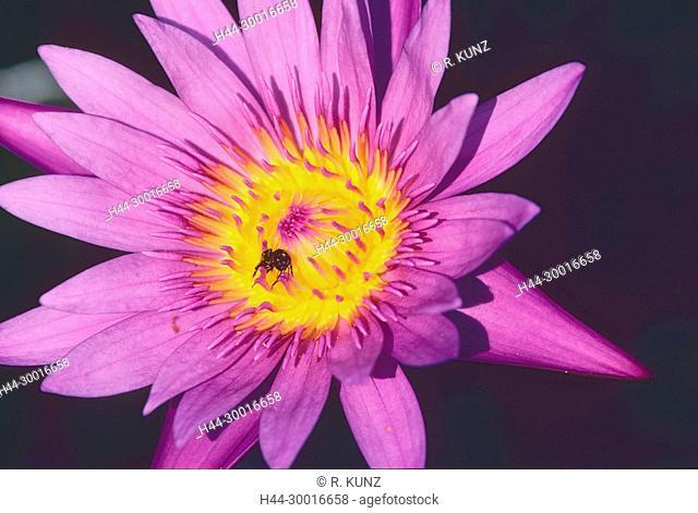 Star-lotus, Nymphaea nouchali, Nymphaceaceae, Water lily, Blüte, blühend, Blume, Pflanze, Bee, insect, Botanischer Garten, Singapore