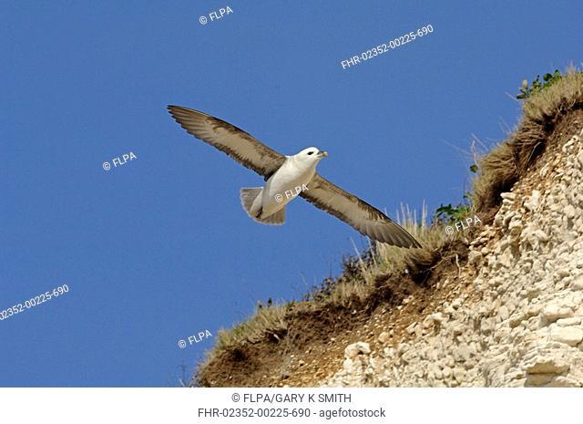 Northern Fulmar Fulmarus glacialis in flight over nesting cliff, Hunstanton, Norfolk, England, march