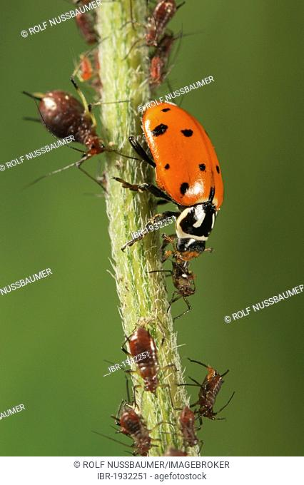 Convergent Ladybug (Hippodamia convergens), adult eating Aphids (Aphidoidea), Laredo, Webb County, South Texas, USA, America