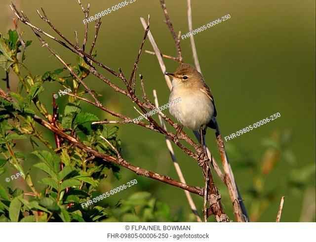 Booted Warbler Hippolais caligata adult, perched on twig, Aqmola Province, Kazakhstan, june