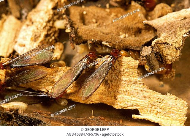 Agriculture - Insect pest, Western Drywood termite Incisitermes minor winged adults 1X