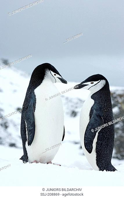 Chinstrap Penguin (Pygoscelis antarctica). Couple standing together. Antarctic Peninsula. No exclusive sales !