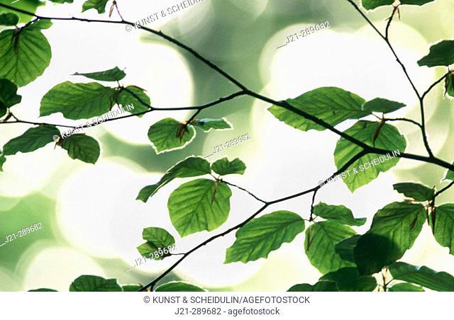 Beech leaves (Fagus sylvatica). Bavaria, Germany