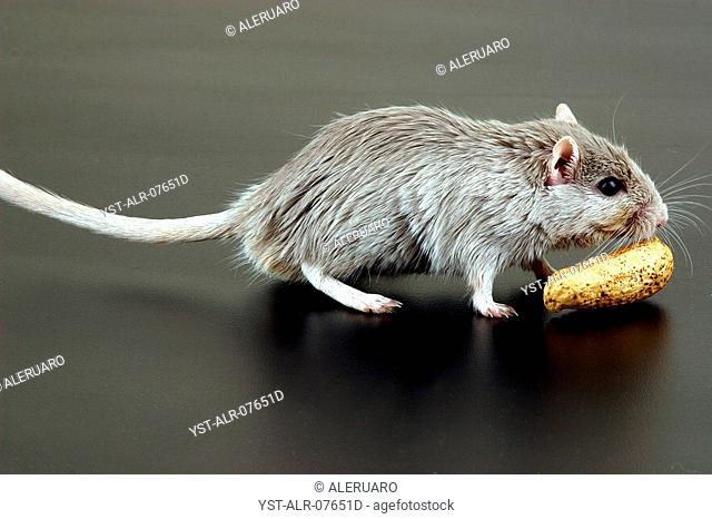 Mouse, Peanut, Caxias do Sul, Rio Grande do Sul, Brazil