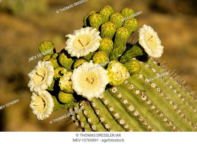 Giant Saguaro - With buds and flowers (Carnegiea gigantea)