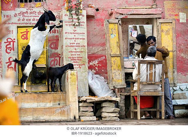 Goats and barber, Holy Stairs or Ghats, Varanasi, Ganges, Uttar Pradesh, India, Asia