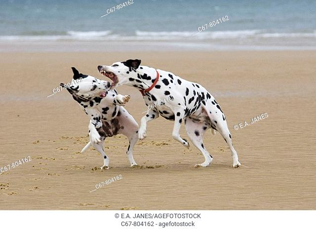Dalmation Dogs running on Beach