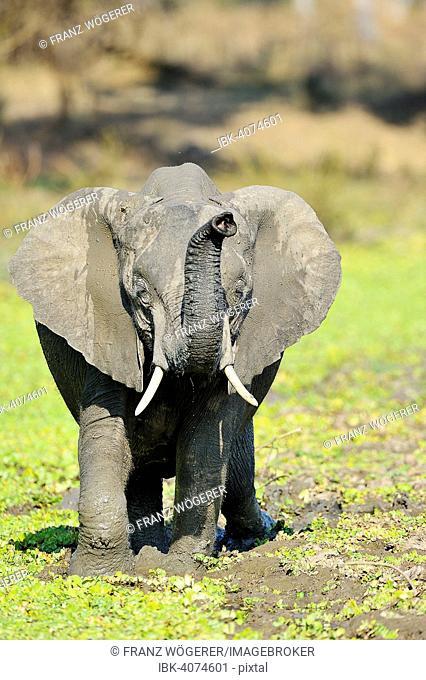 African Elephant (Loxodonta africana), adolescent, threatening, South Luangwa National Park, Zambia