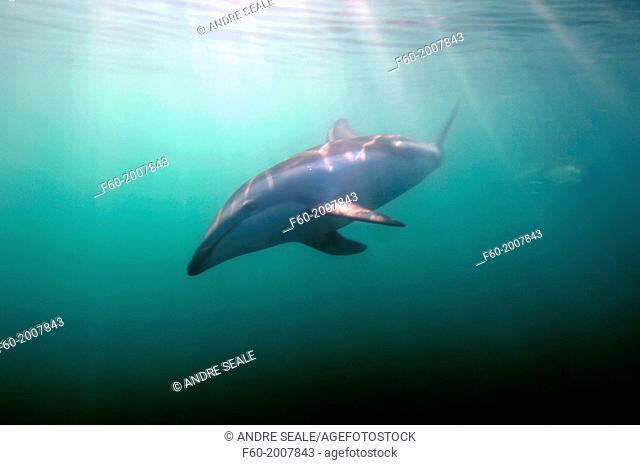 Dusky dolphin, Lagenorhynchus obscurus, Kaikoura, New Zealand