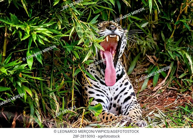 Jaguar (Panthera onca), in the middle of bushes, photographed in Espírito Santo, Brazil. Atlantic Forest Biome. Captive animal