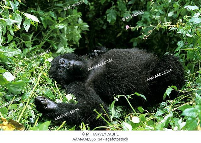 Mountain Gorilla (G. gorilla beringei), midday rest, Central Africa