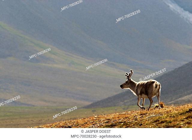 Svalbard Reindeer (Rangifer tarandus platyrhynchus) in landscape, Svalbard, Arctic Ocean, Norway