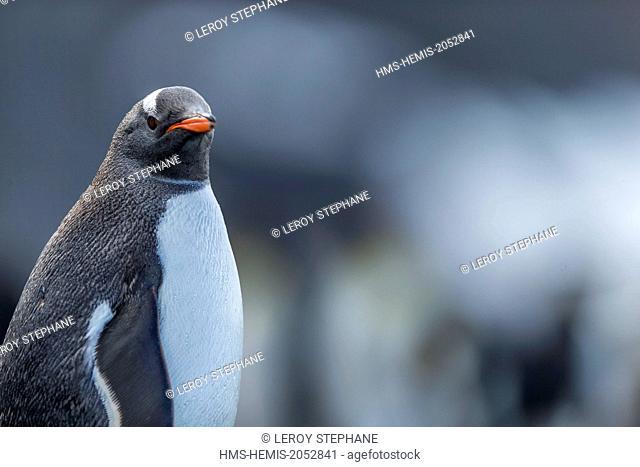 South Atlantic Ocean, South Georgia Island, gentoo penguin (Pygoscelis papua)