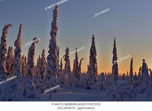 Sunset over winter landscape with snowy trees and colorfull sky, Gällivare, Swedish Lapland, Sweden